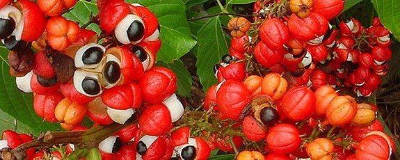 khasiat buah guarana